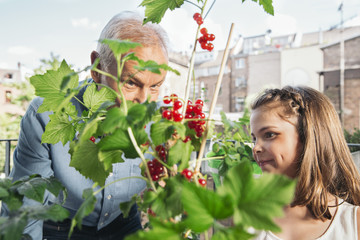 Grandfather and granddaughter picking red currants from balcony