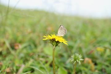 little butterfly on the dandelion flower #3