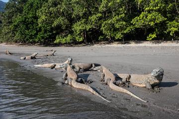 Komodo Dragons at Waterline in Indonesia
