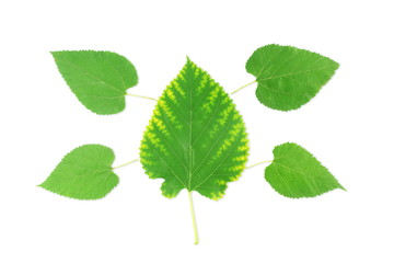 green tree leaves texture in white background