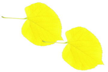 yellow tree leaves texture in white background