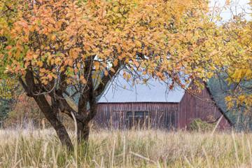 View of barn through yellow tree.
