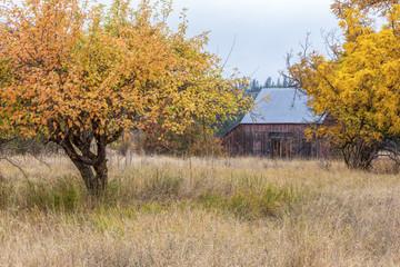 Yellow trees in barnyard.