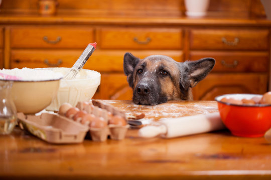 mischievous  German Shepherd dog quite a mess in the kitchen