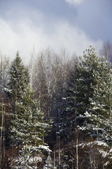 The winter forest covered with snow. Rural. Russia.