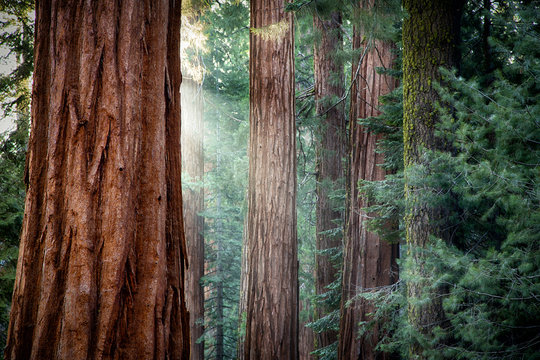 Giant Sequoias in early morning light