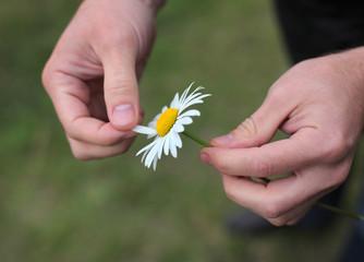 Daisy in male hands