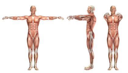 3D medical figure showing shoulder horizontal abduction and addu
