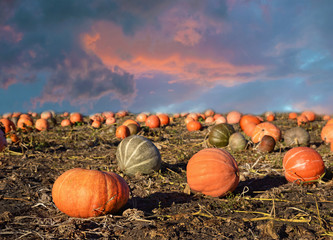 Beautiful landscape with pumpkins against the sky at sunset (har