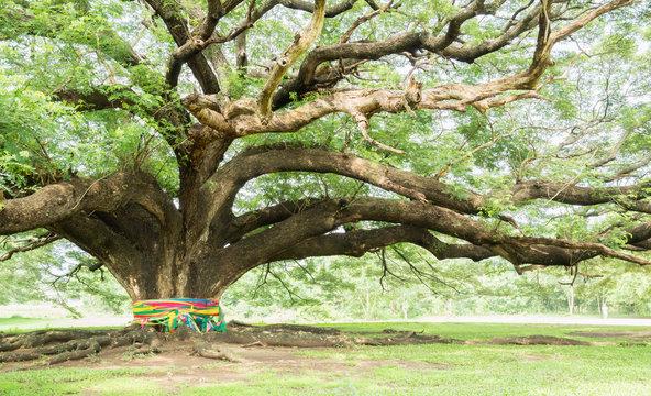 Largest Monkey Pod Tree on white sky at Kanchanaburi, Thailand
