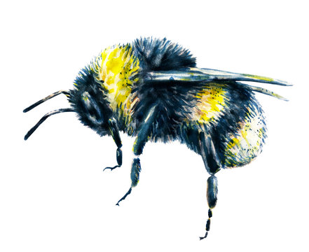 Bumblebee on a white background. Watercolor drawing. Insects art. Handwork. Side view