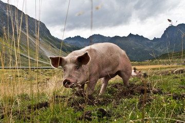 Tierhaltung - EIn glückliches Schwein