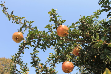 Pomegranate fruits on a tree ripe juicy sweet autumn in Turkey