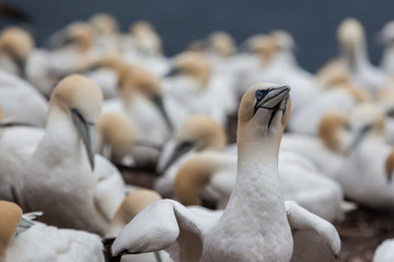 Northern gannet colony on Bonaventure Island near to Perce, Gaspe, Quebec, Canada.