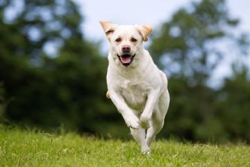Labrador retriever dog outdoors in nature