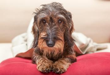 Cane bassotto sul cuscino rosso