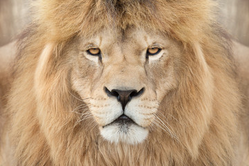 Fototapete - Crowned lion king
