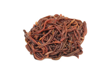 bunch of red earthworms on a white background