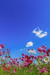ピンク色のコスモスの花