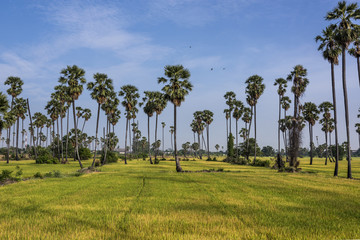 Rice fields and palm.