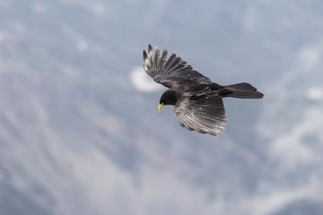 Gracchio alpino vola solitario nel cielo