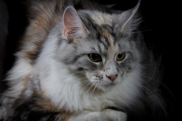 Longhair cat looking down