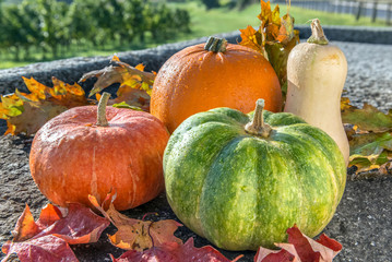 Autumn harvest of various pumpkins with drops of water: butternut squash, orange and japanese pumpkin, howden Autumn leaves, rustic stone and vineyard background.  Front view