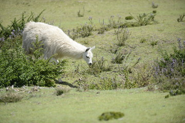 White llama on the field.