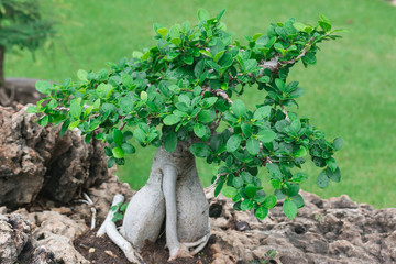Bonsai tree in a ceramic pot in the garden