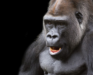 close-up portrait of a silver-back gorilla against a black background
