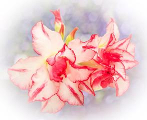 Impala Lily or desert rose or Mock Azalea isolate on white