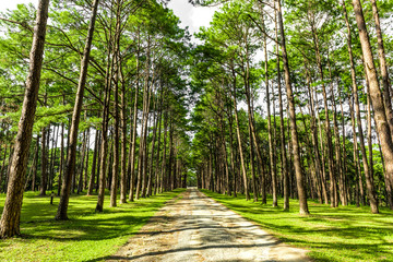 Walkway Lane Path With Green Trees in Pine park at Boa Keaw Silv
