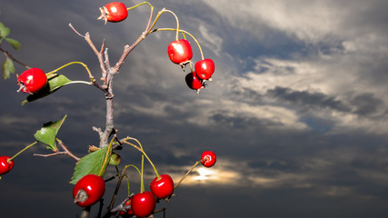 Rose hips in front of the dark sky – artistic picture