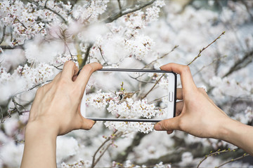 Girl taking pictures on mobile smart phone in sakura and little