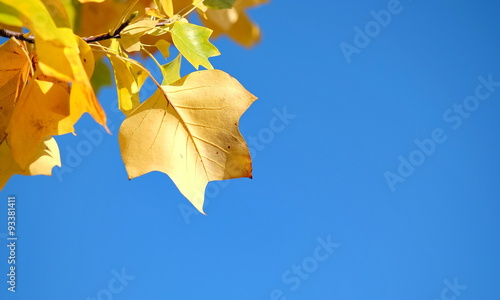 herbstliches blatt vor blauem himmel imagens e fotos de stock royalty free no. Black Bedroom Furniture Sets. Home Design Ideas