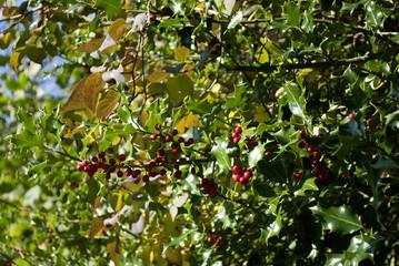 Stechpalme, Ilex Zweige mit roten Beeren in Schleswig-Holstein