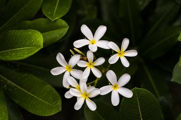 White Plumeria Alba, Frangipani or West Indian Jasmine flower