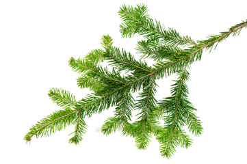 christmas evengreen pine tree branch