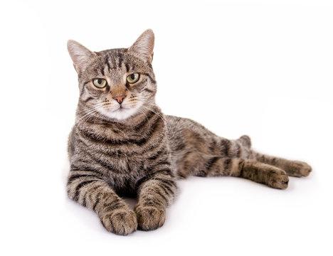 Liegende, getigerte Katze