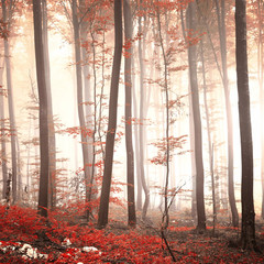 Lovely red colored autumn season beech tree leaf forest at foggy day. Seasonal red colored woodland. Picture was taken in south east Slovenia, Europe.