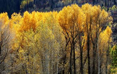 Wall Mural - Aspen Trees Fall Colors