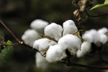 ripe cotton boll