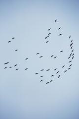 Осень. Стая гусей в небе.