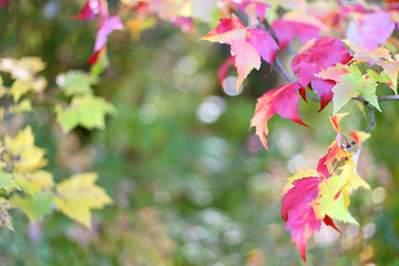 Sugar Maple Leaves Framing Autumn Nature Background