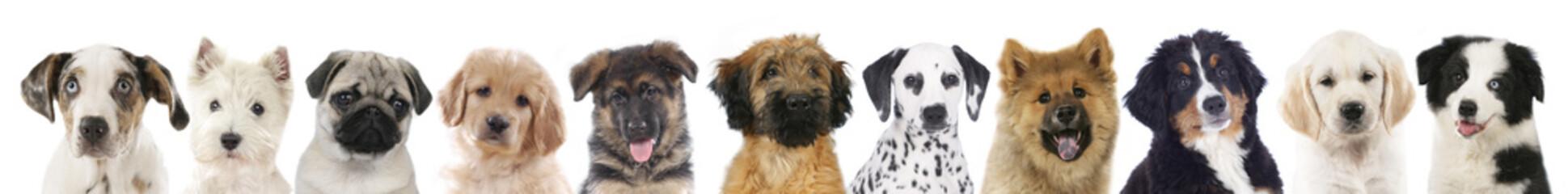 Verschiedene Welpen - Hunde Köpfe aufgereiht