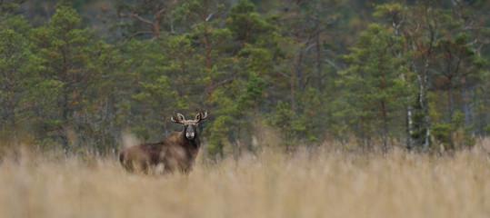 Moose bull in the bog