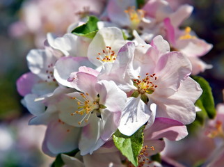 Apple blossoms - spring flowers