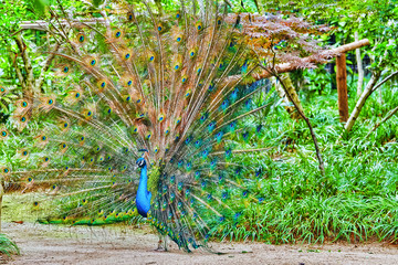 Beautiful peacock with feathers out.