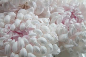 The white chrysanthemum flower, closeup, macro