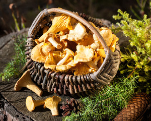 Basket of chanterelles on stump in the forest